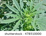 view of cannabis plant leaves.... | Shutterstock . vector #478510000