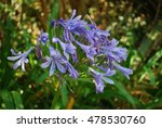 Lily Of The Nile  Agapanthus...