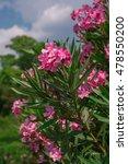 Oleander  Nerium Oleander  Pin...