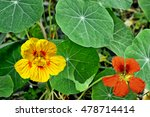 Colorful Bright Nasturtium...
