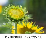Постер, плакат: young sunflowers Sunflowers are