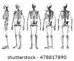 Human Skeleton Set. Vector...