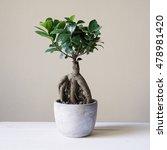 Bonsai Ginseng Or Ficus Retusa...