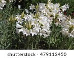 Small photo of Amaryllis belladonna 'White Queen' plant bloom.