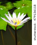 Water Lily In My Garden No.6