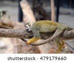 Squirrel Monkey Sleeping