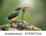 Small photo of A Beautiful bird,Blue-banded kingfisher (Alcedo euryzona) male hunts lizard for feeding baby ,natural blurred background