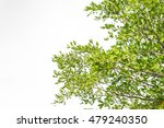green leaves isolated on white... | Shutterstock . vector #479240350