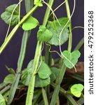 Small photo of Vitis quadrangularis (Cissus quadrangularis) - veldt grape, devil's backbone or adamant creeper.