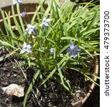 Small photo of Ipheion uniflorum a species of flowering plant, related to the onions, in the allium subfamily (Allioideae) of the Amaryllidaceae, known as springstar, spring starflower is dainty growing in a pot.