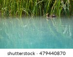 Baby Duck Swims Along Grass In...