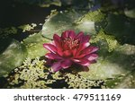 Single Red Water Lily Flower In ...