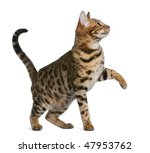 Stock photo bengal kitten months in front of a white background 47953762
