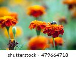 bumblebee sitting on a bright... | Shutterstock . vector #479664718