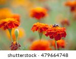 bumblebee sitting on a bright... | Shutterstock . vector #479664748