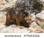 Small photo of Syrian bear - Ursus arctossyriacus - walking around and looking for food