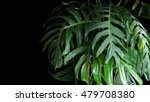 green leaves of monstera plant... | Shutterstock . vector #479708380