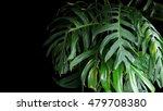 green leaves of monstera plant... | Shutterstock . vector #479708380