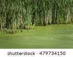 Small photo of Stand of common reeds (binomial name: Phragmites australis) at edge of pond covered with algal bloom in summer, northern Illinois, USA, for themes of nature and the environment