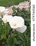 The Calla Lily Commonly Calle...