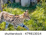 Small photo of Beautiful slender african wild cat