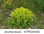 Small photo of Chartreuse flowers on a lady's-mantle plant called Alchemilla venosa