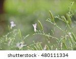 Small photo of Ocimum americanum, american basil.