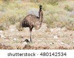 Close Up View Of An Emu Walkin...
