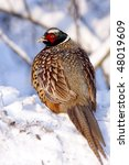 Small photo of Male Pheasant on the snow, (Phasianus colchicus mongolicus).