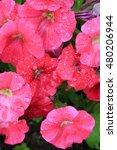 red flowers in the garden.... | Shutterstock . vector #480206944