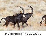 Sable Antelope In The Field On...