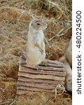 black tailed prairie dog ... | Shutterstock . vector #480224500