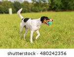 parson russell terrier is... | Shutterstock . vector #480242356