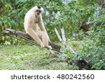 White Cheeked Gibbon In Khao...