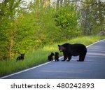 Mother bear and her cubs, Shenandoah National Park