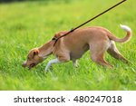 Portrait Of A Podenco Mix At...
