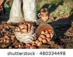 the children dig up the potato... | Shutterstock . vector #480334498