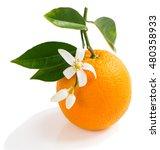 orange fruit and orange blossom ... | Shutterstock . vector #480358933