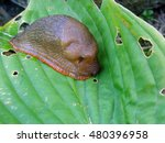 Small photo of Shell-less air-breathing terrestrial gastropod mollusc land slug on green leaf close up macro.