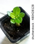 Small photo of Adenium obesum also known as Desert Rose and Impala Lily and