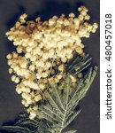 Small photo of Vintage faded Yellow Mimosa flowers of Acacia dealbata plant aka silver wattle, blue wattle flower plant