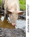 pig sifting through puddle ...   Shutterstock . vector #48057517