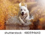 Stock photo a young labrador retriever dog is running through a river with a pretty face in autumn 480594643