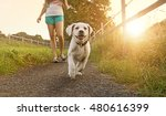 Stock photo walk of a young woman with dog at sunset next to a paddock labrador puppy running with pretty face 480616399