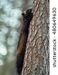Small photo of wolverine climbing on tree