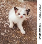 Small photo of Baby siamese alley cat