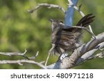Small photo of An untidy looking babbler standing on a branch