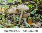 Small photo of Three White Amanita (Amanita verna) growing in grass, in the forest. Close-up.