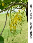 Small photo of The pendulous racemes of Cassia flowers with yellow petas and pungent odor.