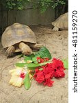 Small photo of African Spurred Tortoise in the garden, African spurred tortoise eating